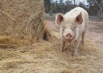 Wiggy hay