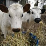 Calves - Abbey and Bella