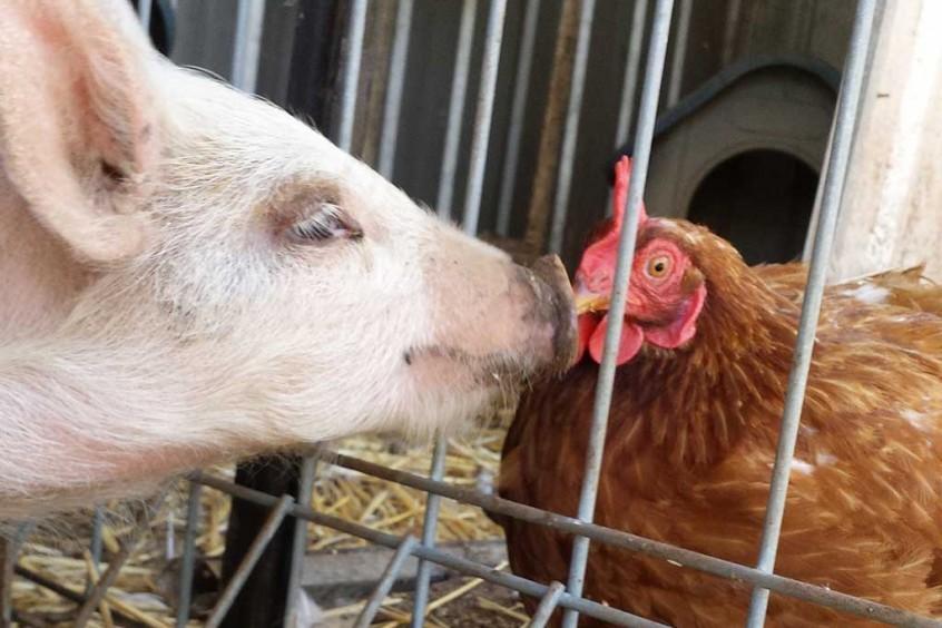 Truffelina and chicken Regina