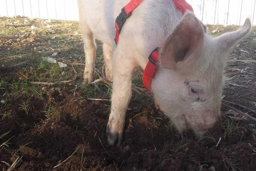 Porcini foraging